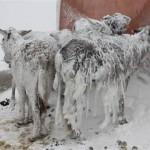 トルコがヤバい!凍てつく寒波で野ロバがカッチンコッチンに。