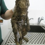 犬?狐?何?セメントの池に落ちてしまった可哀想な動物の惨劇