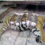 トラが『ブタ』を育てるは本当か?心温まる話に捏造疑惑