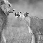 あまりに『鬼嫁』過ぎるライオンの夫婦
