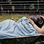 チンパンジーは『友人の死』を悲しむ。驚きの写真が話題に