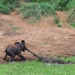 象さん逃げて!子象とワニの食うか食われるかの壮絶なる戦い