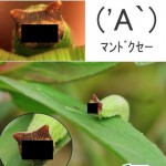 「( 'A`)マンドクセー」にそっくりな芋虫が発見される