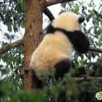 不謹慎だがカワイイ!中国の地震で怯えるパンダがあまりに可愛すぎると話題に