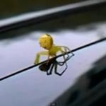 完全に「黄金のスタルチュラ」!香港で人の顔をしたクモが発見され話題に