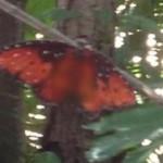 ついに蝶に『隠れミッキー』が発見される!絶滅危惧種入りか?