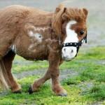 室内で飼えるほど小さい「ミニ馬」がかわいすぎて涙が出そうだ!