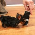 ポーランドで携帯電話より小さい手乗りワンコが登場!