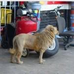 ライオンのような犬「ライドッグ」が発見され話題を呼ぶ