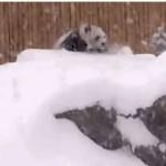 雪の中で遊ぶパンダ「犯罪レベル」のカワイさで人間挑発!