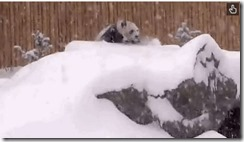 雪の中で遊ぶパンダ「犯罪レベル」のカワイさで人間挑発! panda1 thumb