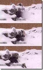 雪の中で遊ぶパンダ「犯罪レベル」のカワイさで人間挑発! panda2 thumb