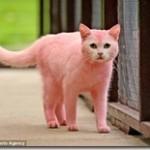 リアルピンクパンサーか!ピンク色の猫が発見される
