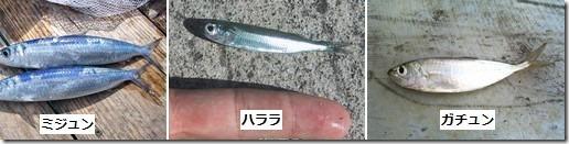 笑ってコラえて!ダーツの旅で出会った魚、ミジュン・ハララ・ガチュンって? thumb21